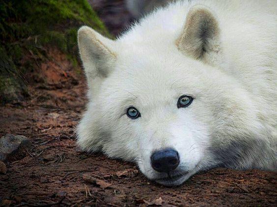 016cc17a0d5e4ae7f777d2bdc63011c8-blue-eyes-white-wolves.jpg